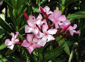 Plantas venenosas las 5 pantas mas venenosas de mexico - Plantas ornamentales venenosas ...